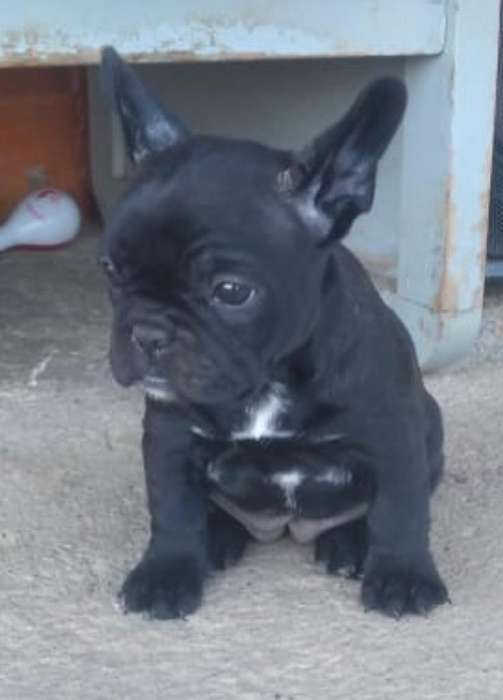 Bulldog Frances Negro Solido