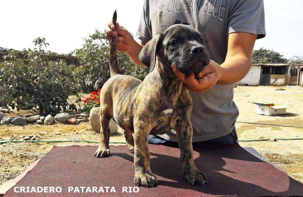 VENTA DE CACHORROS - DOGO CANARIO - DOGO DE BURDEOS - BULLDOG FRANCES