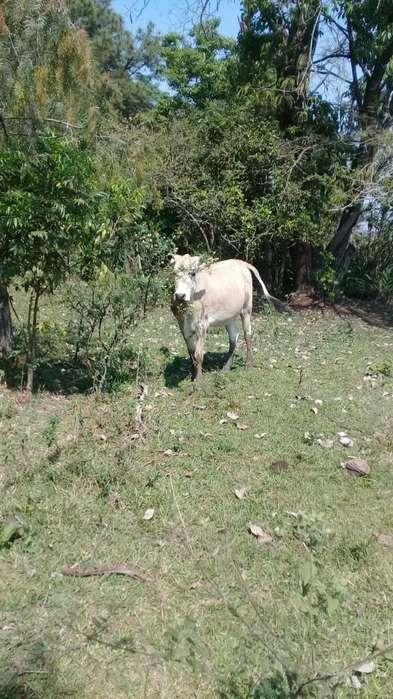 Vendo Animal Toro