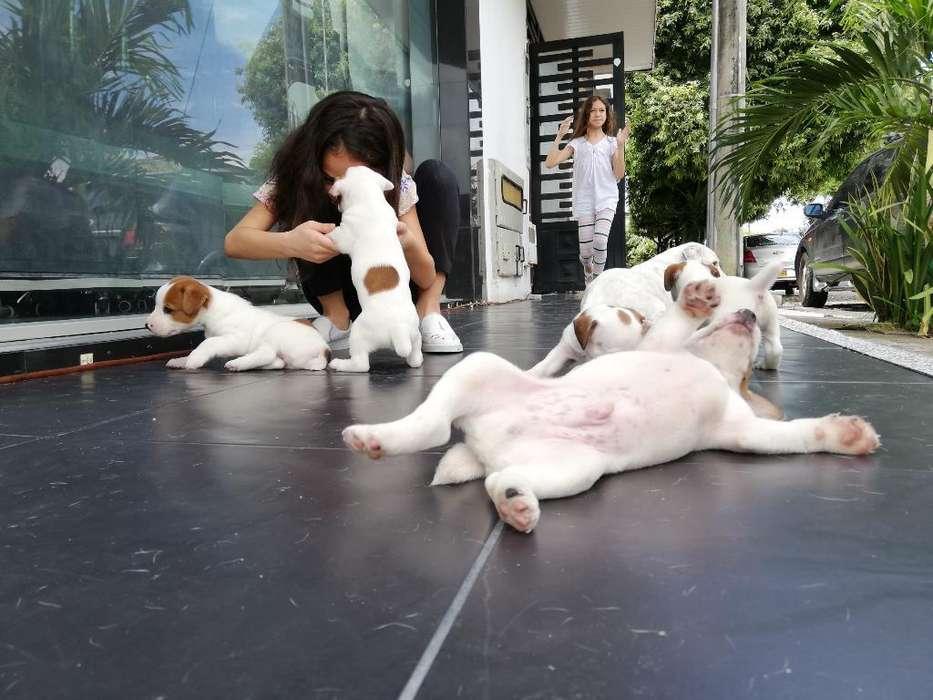 Jack Russell Terrier (patas Cortas)