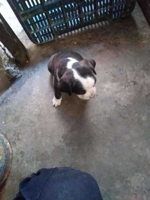 Vendo Boston Terrier