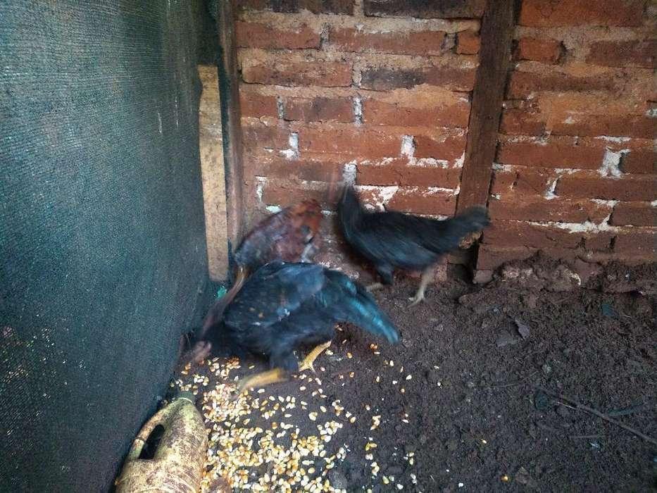 Vendo Pollos Gallo Y Gallinas