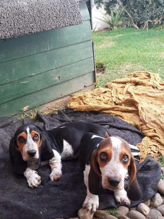 Cachorritos Basset Hound