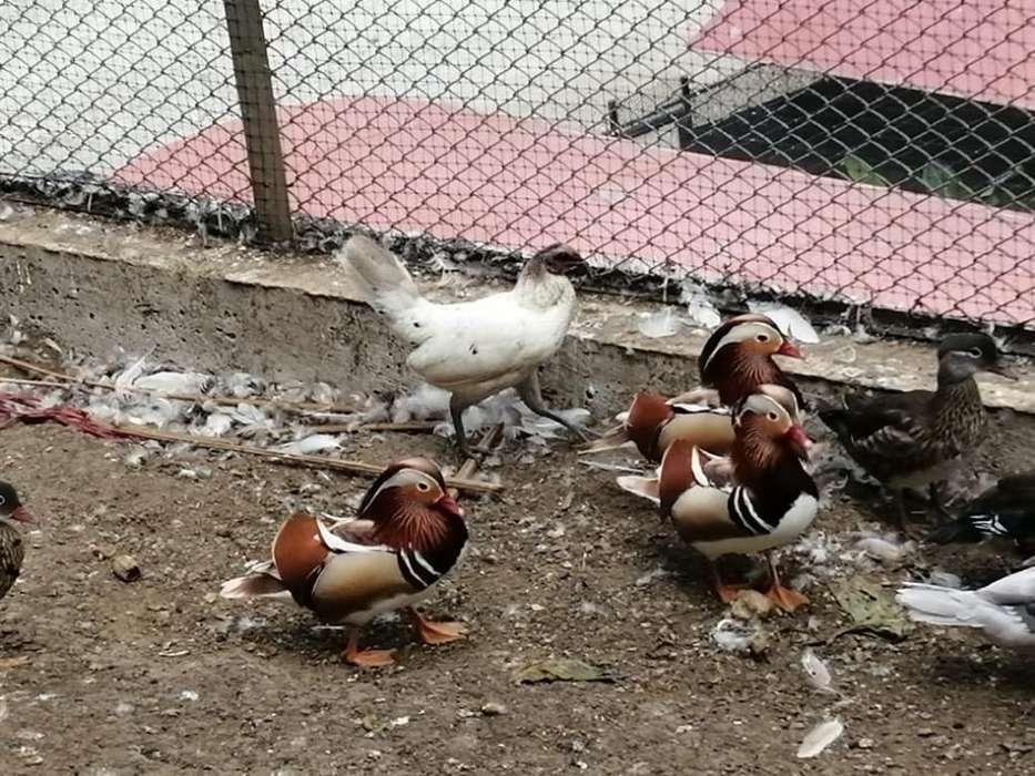 Patos Mandarin