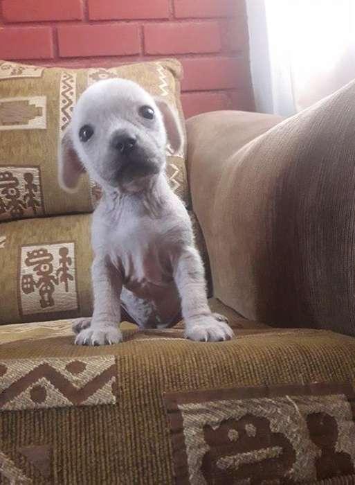 perro peruano crestado