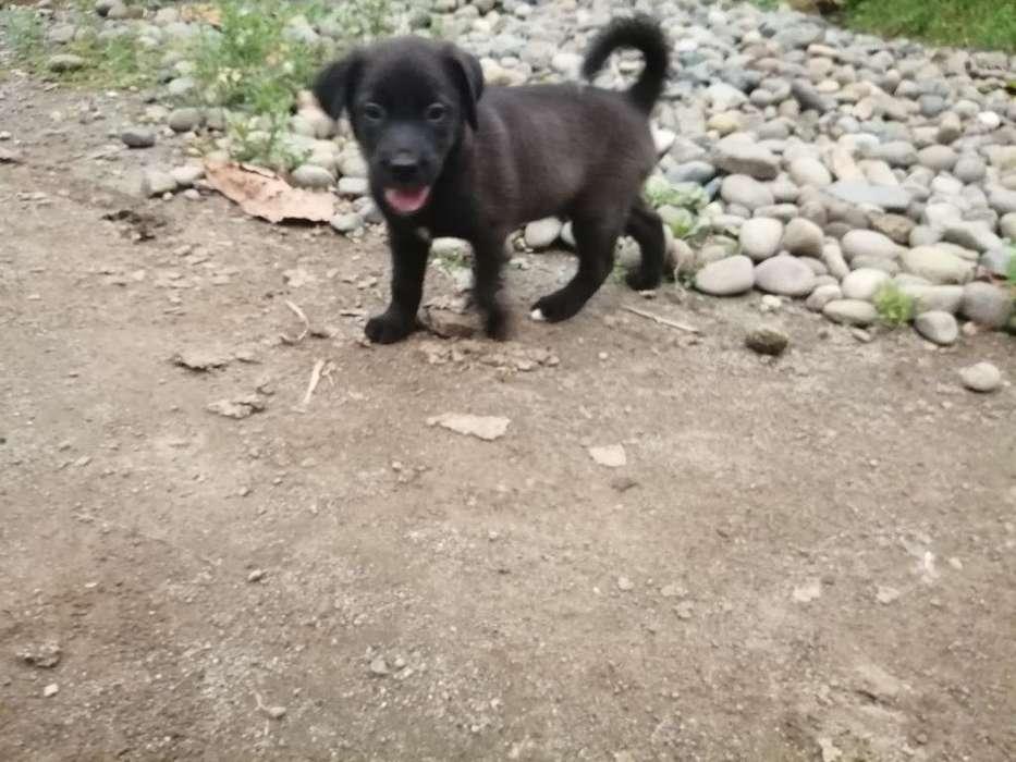 Venta <strong>cachorro</strong>s Labradores