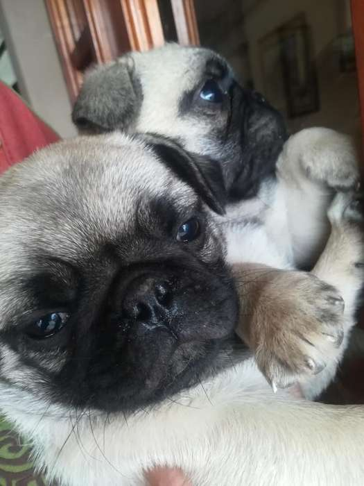 Pug Carlino Micro <strong>cachorro</strong>s Machos