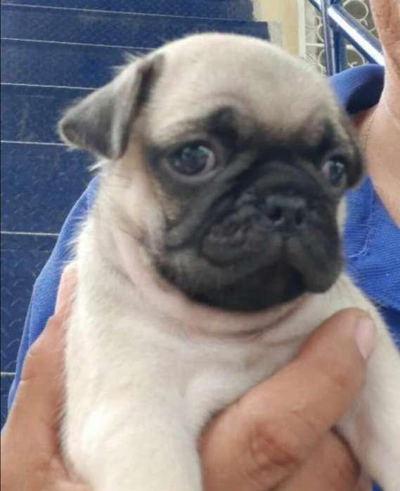 Pug Carlinos