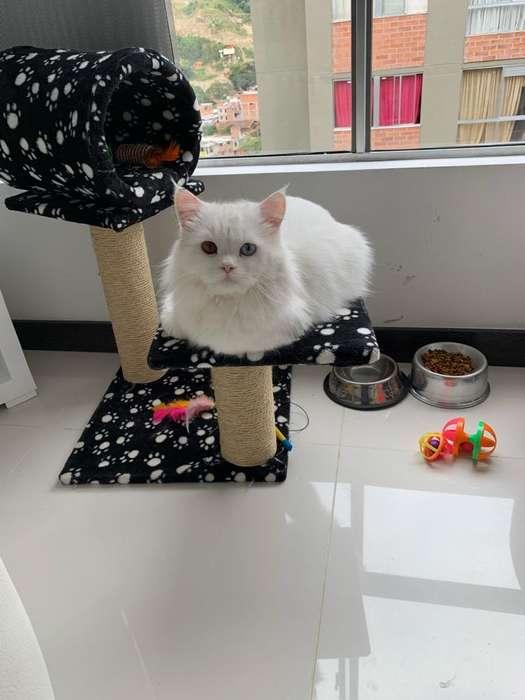 pareja gatos persas
