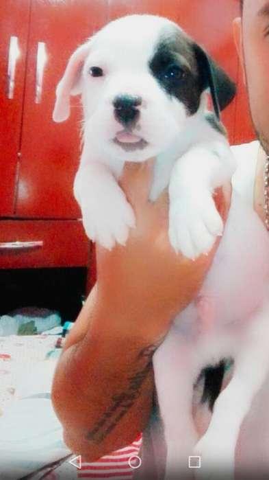 Pitbull Cachorro 100 .0962905945