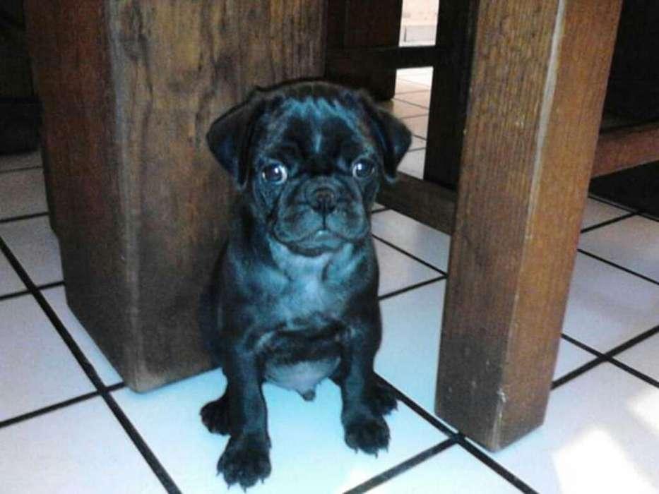 Pug Negro Original Aliso