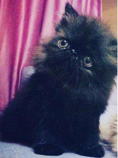 Gato persa pedigri tica