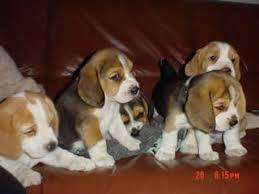 lindos <strong>beagle</strong>s enanitos