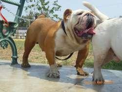 bulldog ingles pedigri dorado para cruce o monta al 991700816 --2765168