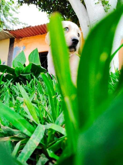 <strong>cachorro</strong> Labrador Puro