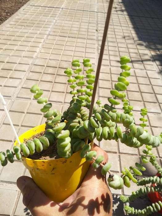 Plantas Collarcito