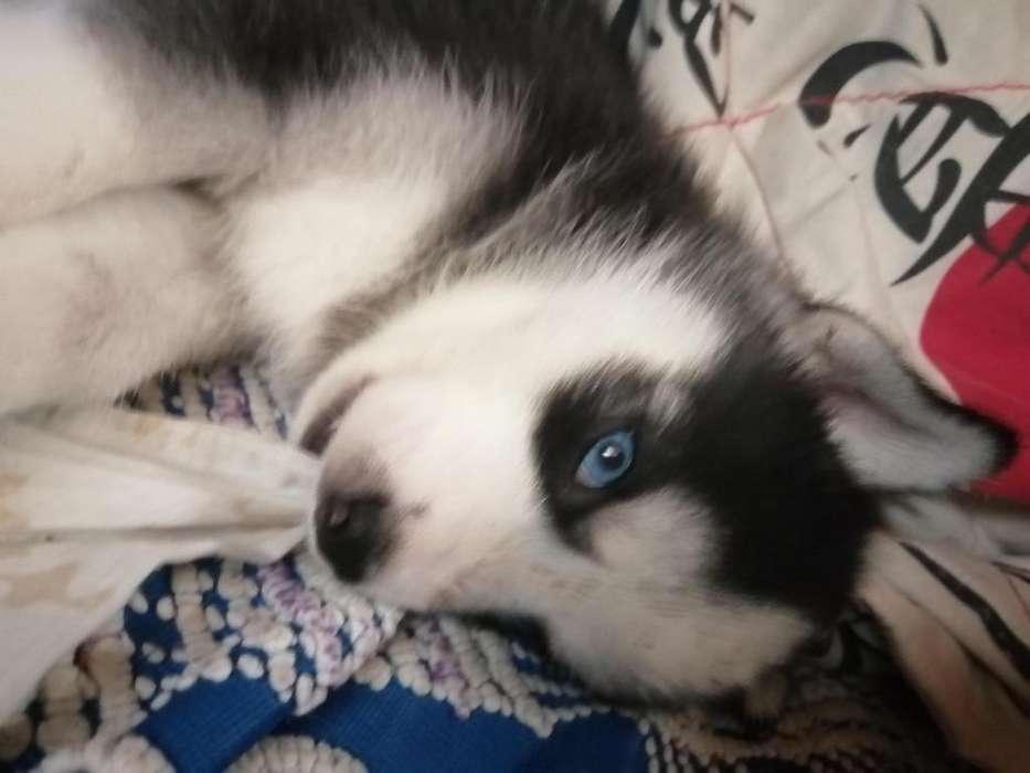 Se venden perros hutsky con un mes de nacidos