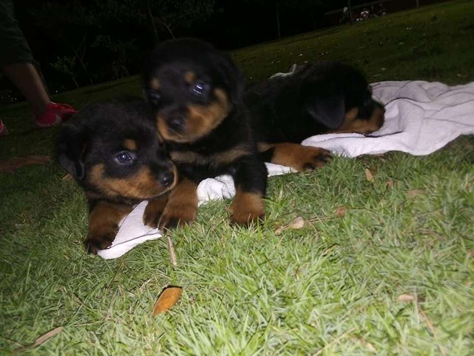hembras y machos <strong>rottweiler</strong>