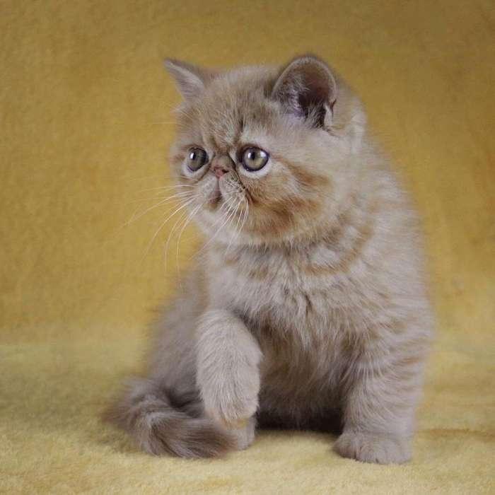 Fabulosos <strong>gato</strong>s Persas