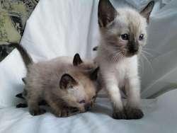 Vendo Gatos Siamés