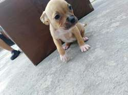 Vendo Cachorritos Pitbull Bacunados