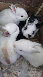 vendo conejitos bebe quito a domicilio 14