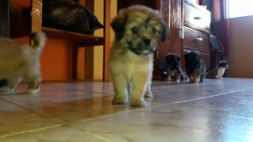 se Venden <strong>cachorro</strong>s raza Pequines