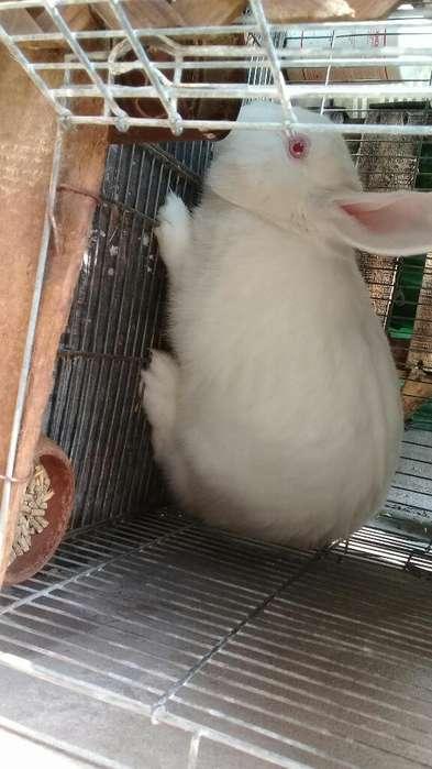 Conejos Gigantes de Flandes Hembra