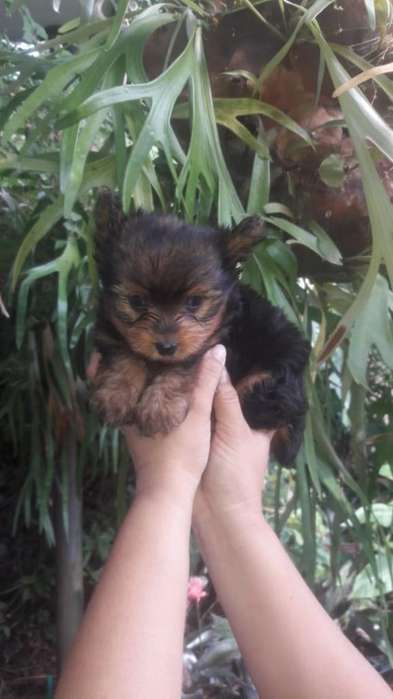 York Shire Terrier