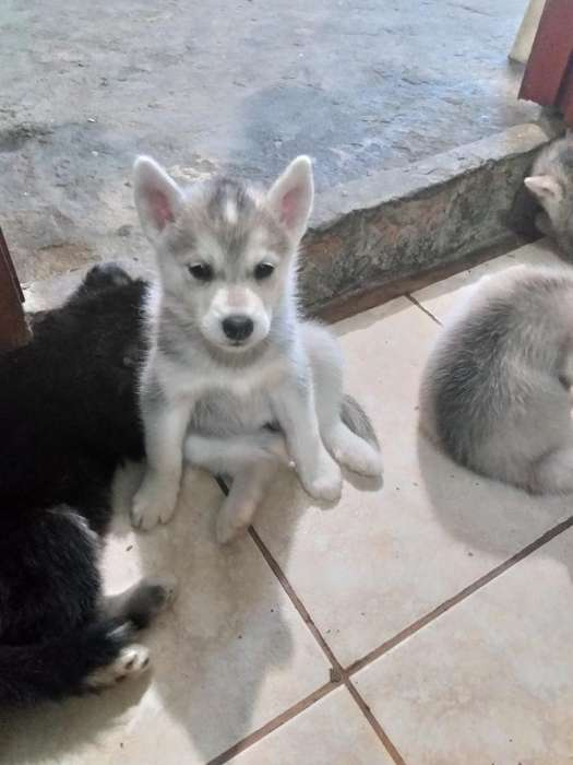 Cachorros Husky Silveriano