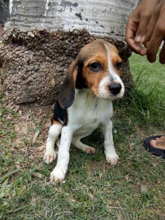 Linda <strong>beagle</strong> Tricolor