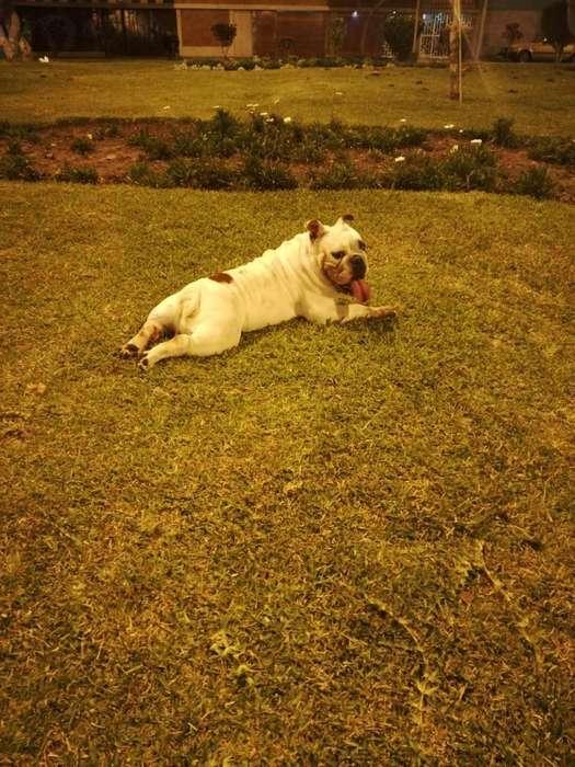 Bulldog Ingles Brinda Servicio de Monta