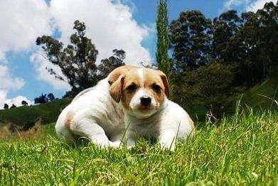 JACK RUSSELL <strong>terrier</strong> DE ALTA GENÉTICA, CERTIFICADO DE PUREZA