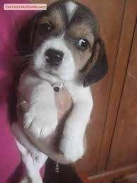 lindos beagle bebe