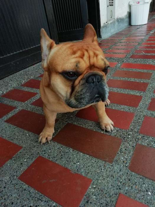 <strong>bulldog</strong> Francés para Montas