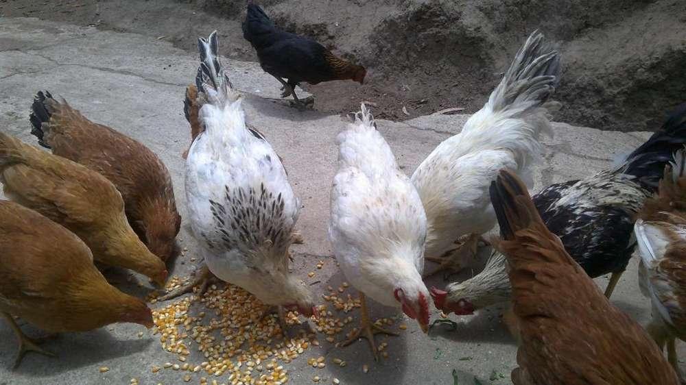 pollos del campo
