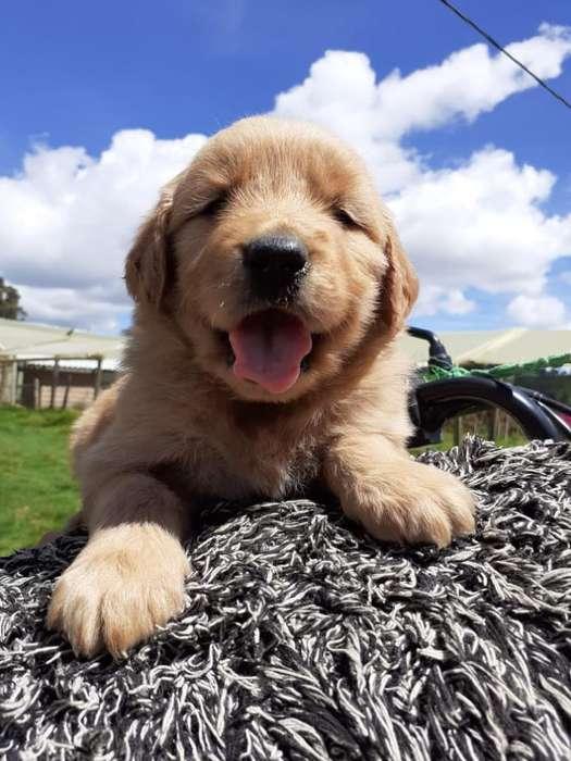 Cachorros Golden Retriber