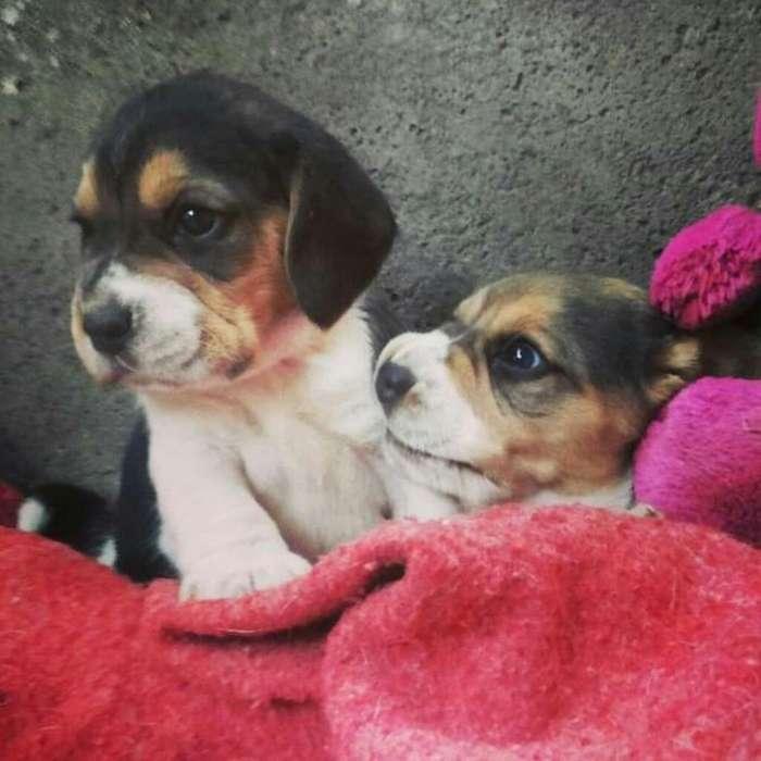 Que Cosita Tierna Enano <strong>beagle</strong>
