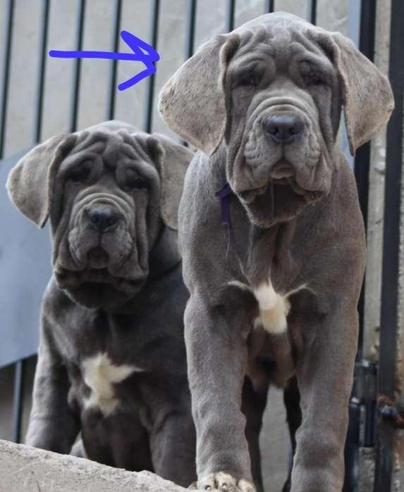 Cachorra Mastin Napolitano con Pedigrí