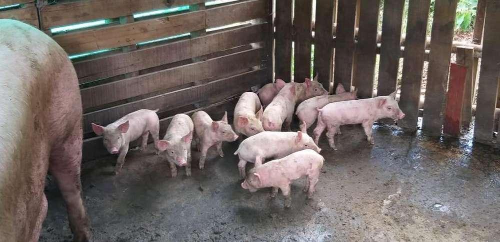 se venden cerdos destectos