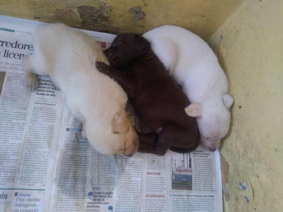 Labradores Cruzados