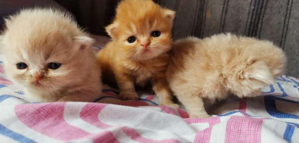 Se Venden Gatos Persas