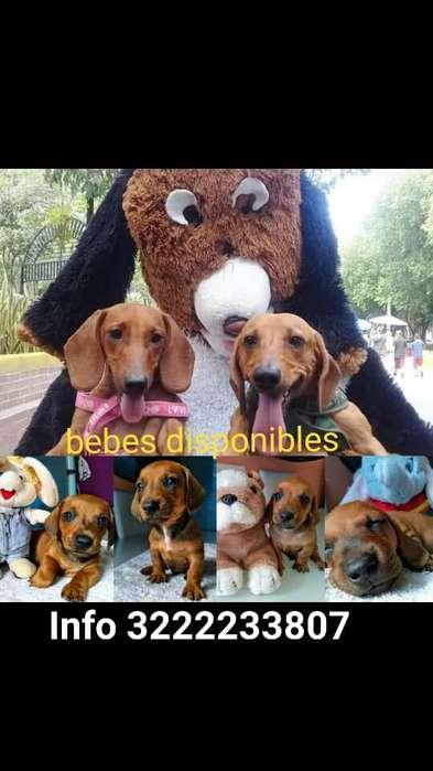 Teckel dachshund perro salchicha