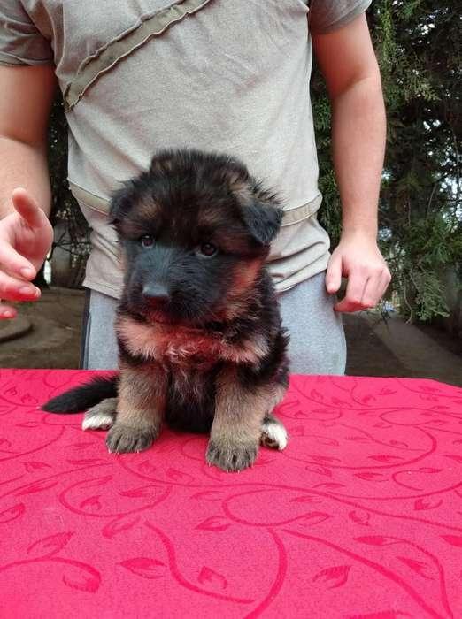 Cachorros Ovejero Aleman con pedigre.