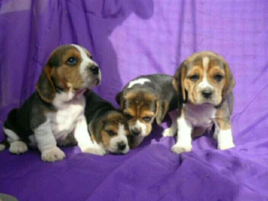 Lindos <strong>beagle</strong>s Macho Y Hembra de Dos Mes