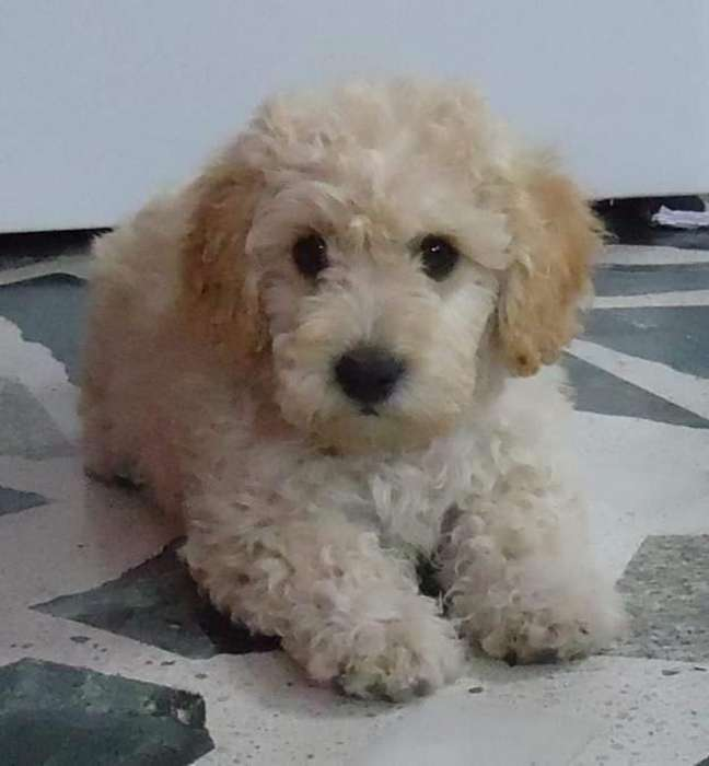 French Poodle Mach 30 Fijos 0983008482