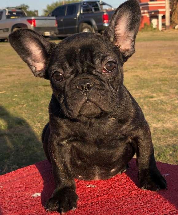 Bulldog Francés Hembra Negra con Fca