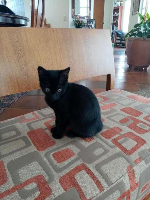 Doy gatita negra azabache en adopción