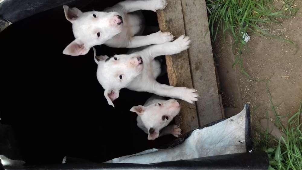 Cachorra bull terrier 2922 443256