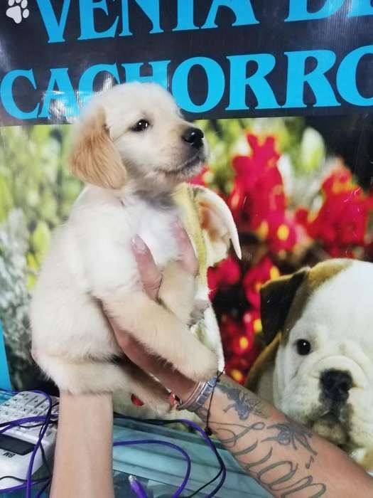 Cachorros Golden Retriever Originales